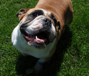 Image of Female English Bulldog standing looking up at camera with mouth open