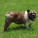 Image of male English Bulldog