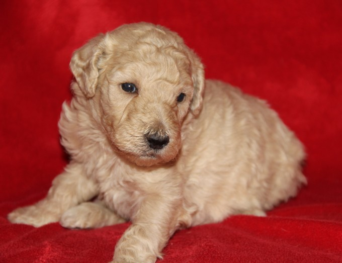Image of cream colored Male Labradoodle