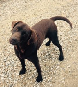 Coco: Chocolate Female Labrador!