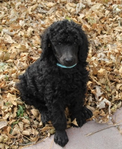 Image of Male Labradoodle