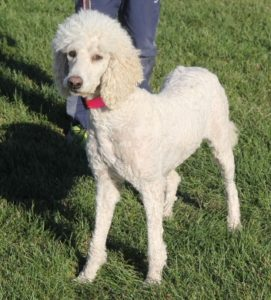 Noel: Cream Female Standard Labradoodle!