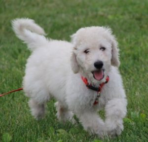 Cream Male Labradoodle #2