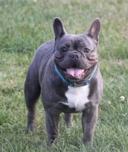 "Sire ""Rosco"" Blue French Bulldog"