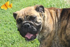 Paris: Brindle Female English Bulldog