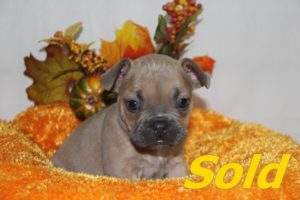 Blue Fawn Male French Bulldog #3