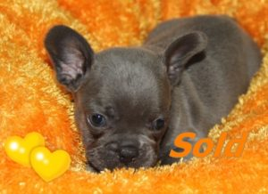 Blue Female French Bulldog #1