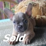 Male Blue/Fawn French Bulldog #1