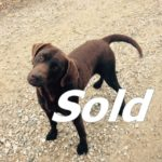 This is Coco Chocolate Female Lab 4 yr. old