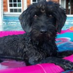 """Mandy"" Mini Labradoodle Female"